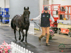 CAI W London GBR 2018   Horseinspection  15