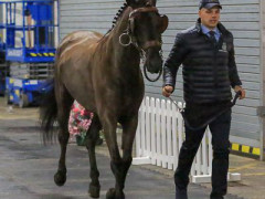 CAI W London GBR 2018   Horseinspection  31